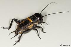 Cryket (Gryllidae), protagonist of many children's stories (A. Muiña) Tags: insecto campo sonido salto animales animals naturaleza nature color rústico nikon nikond800 macro