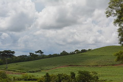 Central Region, Uganda - Along Jinja Road - Tea Estate (jrozwado) Tags: africa uganda tea teaestate