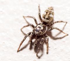 _DSC0100-1634 (SteveKenilworth2014) Tags: daddy longlegs spider web macro
