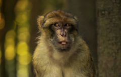 (raimundl79) Tags: wow wonderful affe affenberg explore fotographie flickrr flickrexploreme foto photographie portrait austria salem image myexplorer nikon nikond800 tier tiergarten monkey lightroom deutschland bodensee
