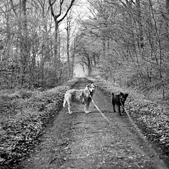 Mamiya162 (salparadise666) Tags: mamiya c330 sekor 80mm fuji neopan acros 100400 caffenol cl semistand 36min nils volkmer vintage camera medium format 6x6 square dogs nature wood forest monochrome bw black white hannover region calenberger land niedersachsen germany landscape view contrast april spring