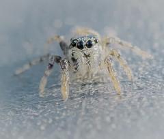 Eye's. (Omygodtom) Tags: strange albino white spider bokeh bug macro insect jumpingspider tamron90mm tamron natural nature weired nikon nikkor digital d7100 macromondays