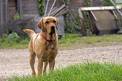 Down at the farm (Tony_Brasier) Tags: farm dog grass faversham kent working shed labrador nikon d7200 70300 tamron england me17 m2