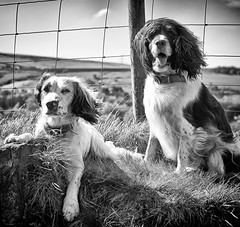 A Breezy Blow Wave! (Missy Jussy) Tags: mollie molliemunch rupert rupertbear dogs dogportrait wind sun animals pets puppy outdoor outside countryside lancashire grass fence field hillside drystonewalls scene springtime englishspringer springerspaniel spaniel mansbestfriend mono monochrome bw blackwhite blackandwhite rochdale piethornevalley canon canon5dmarkll 50mm ef50mmf18ll canon50mm littledoglaughednoiret