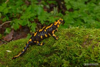 Salamandra pezzata (Salamandra salamandra) (27)