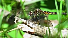 Dragonfly (Suzanham) Tags: canonpowershotsx60hs bug anisoptera odonata wings eyes hover mississippi noxubeewildliferefuge macro closeup flier mosquitohawk snakedoctor nature wildlife wild outdoor