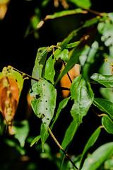 BOR_9786 (lucvanderbiest) Tags: greencrestedlizzard bronchocelacristatella borneo maleisië sabah sepilok rainforestdiscoverycenter