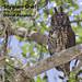 Stygian Owl, Asio stygius