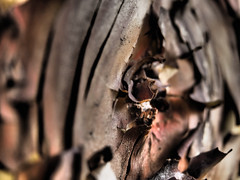 Get In There (Rantz) Tags: australia bark dikaiosyne dof melbourne rantz sooc straightoutofcamera strawberrytree texture textures victoria