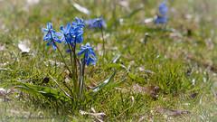 20170430105002 (koppomcolors) Tags: koppomcolors plants flowers blommor