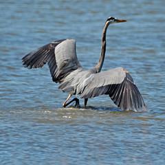 Great wings of a great blue heron (justkim1106) Tags: shorebird wadingbird rockporttexas texas texasnature coastal animal water