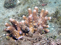 20170314_182_adj (cat64fish) Tags: indonesia ambon underwatertribe hardcoral acropora acr acd digitate