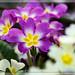 fiori_0486