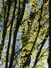 Junges Buchenlaub (Fagus sylvatica); Bergenhusen, Stapelholm (61) (Chironius) Tags: stapelholm bergenhusen schleswigholstein deutschland germany allemagne alemania germania германия niemcy baum bäume tree trees arbre дерево árbol arbres деревья árboles albero árvore ağaç boom träd wald forest forêt лес bosque skov las gegenlicht laub grün rosids fabids buchenartige fagales buchengewächse fagaceae fagoideae buchen rotbuche faia kayın beuken бук bok fagus