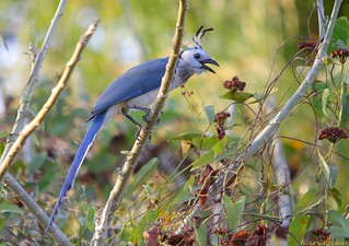 Piapia Azul | White-throated Magpie-Jay (Calocitta formosa)