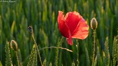 Papavero (BORGHY52) Tags: papavero rossopapavero rosso papaverotralespighedigrano spighedigranoverdi primavera poppies coquelicots maggio