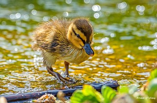 Duckling and Boke Bubbles