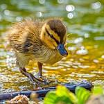 Duckling and Boke Bubbles thumbnail