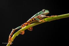 Super Tiger Legged Waxy Monkey Leaf Frog D50_8051.jpg (Mobile Lynn) Tags: amphibian frog supertigerleggedwaxymonkeyleaffrog nature captive fauna wildlife bournemouth england unitedkingdom gb coth specanimal coth5 sunrays5 ngc npc