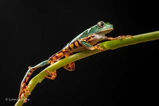 Super Tiger Legged Waxy Monkey Leaf Frog D50_8051.jpg