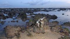 Fluted giant clam (Tridacna squamosa) (wildsingapore) Tags: terumbupempanglaut tridacnidae bivalvia mollusca tridacna squamosa island singapore marine intertidal shore seashore marinelife nature wildlife underwater wildsingapore landscape