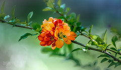 Red begonia for Steve -H (G.LAI) Tags: begonia red steve photography flora art 海棠花 春海棠 贴梗海棠 西府 中国画 green orange yellow poem poetic