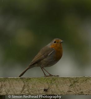 Robin & Raindrops