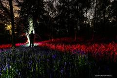 Bluebells At Midnight (john&mairi) Tags: bluebells midnight douglas plantation barking roe muntjac deer lightpainting silhouette milngavie night me glasgow moon scotland