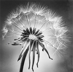 Time Is Running Out (RestlessFiona) Tags: 12thmay2017 dandelionclock dandelion seedhead seeds mono blackandwhite vignette closeupsamsung a3 android restlessfiona