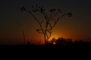 sunset through asters