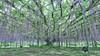 wisteria (peaceful-jp-scenery (busy)) Tags: ashikaga flower park wisteria tochigi japan landscape あしかがフラワーパーク 花 藤 足利市 栃木 日本 sony α99ⅱ a99m2 ilca99m2 amount sal1635z variosonnart*1635mmf28zassm carlzeiss
