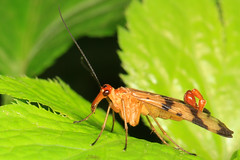 Scorpionfly - Panorpa species, Carderock Park, Carderock, Maryland (judygva) Tags: macromondays memberschoiceintothewoods