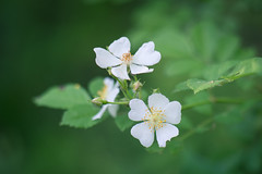 wild rose (severalsnakes) Tags: kansas pentax saraspaedy shawnee shawneemissionpark accuradiamatic13528 extensiontube flower k1 m42 macro manual manualfocus screwmount wildrose