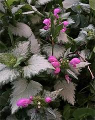 Twilight photos in my garden (Ronald (Ron) Douglas Frazier) Tags: outdoor flowers plants blooms twilight lamium midwest illinois foliage