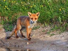 Red Fox 5662(550D) (wildlifetog) Tags: ramsarsite red renard renardroux roux fox herseynaturereserve southeast seaview isleofwight uk mbiow martin blackmore britishisles britain british wild wildlifeeurope wildlife nature canon england european eos550d vulpesvulpes