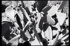 Cabodegata2 (liliaanaramosmartín) Tags: film kodak monochrome cabodegata chumbera almería