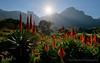 Kirstenbosch Aloe Garden (Panorama Paul) Tags: paulbruinsphotography wwwpaulbruinscoza southafrica westerncape kirstenbosch winter aloegarden redflowers flowers mountains sunstar nikond800 nikkorlenses nikfilters