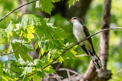 Yellow billed cuckoo, Rondeau Provincial Park, May 17, 2017 (ricmcarthur) Tags: erieau ontario canada ca coccyzusamericanus cuckoo yellowbilledcuckoo rondeau ricmcarthur rickmcarthur rondeauric