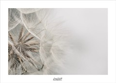 diffuse (Zino2009 (bob van den berg)) Tags: plant flower seed white bride gown dress structures umbrella parachute color offwhite natural light soft fade feelings nature holland transparancy curtains diffuse