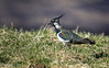 Lapwing - April M_001 (gomo.images) Tags: lapwing birds bird outdoor outdoors nature cairngorms glen glenesk