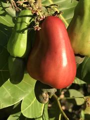 Cashew apple and nut hanging below (jungle mama) Tags: red yellow poisonous fruit nut seed cashew cashewnut cashewapple cashewtree