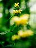 Yellow archangel (Lamium galeobdolon) (Jens Flachmann) Tags: flower plant nature yellow green forest blossom yellowarchangel lamium lamiumgaleobdolon closeup bokeh aluminiumplant artilleryplant