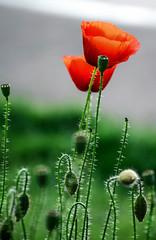 X3DSC_0602 (papamillo) Tags: papaveri poppies rosso red green verde fiori flowerscolors flowers fioridicampo petali natura gavirate varese lombardia italy 21026 lagodivarese nikond5300 papamillo 2017