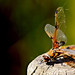 Dragonfly - Wicken Fen