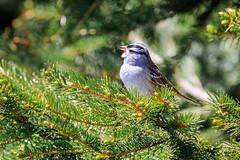 Oiseau inconnu (Proverich) Tags: canada quebec oiseau bird tree arbre