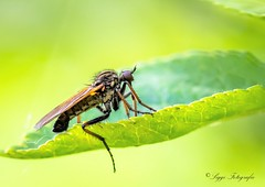 Schlupfwespe (Siggi2409) Tags: insekten flusufer outdoor natur wasser macro 105mm nikond5200 schlupfwespe wespe