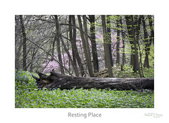 Resting Place (baldwinm16) Tags: april il illinois mortonarboretum midwest nature season spring natureofthingsphotography woods woodland bluebells redbud