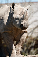 Black Rhino (DJWilson UK71) Tags: blackrhino chesterzoo
