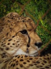 Animals in the zoo - cheatah