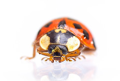 Marienkäfer (Daborius B.) Tags: marienkäfer ladybug insekt insect macro makro